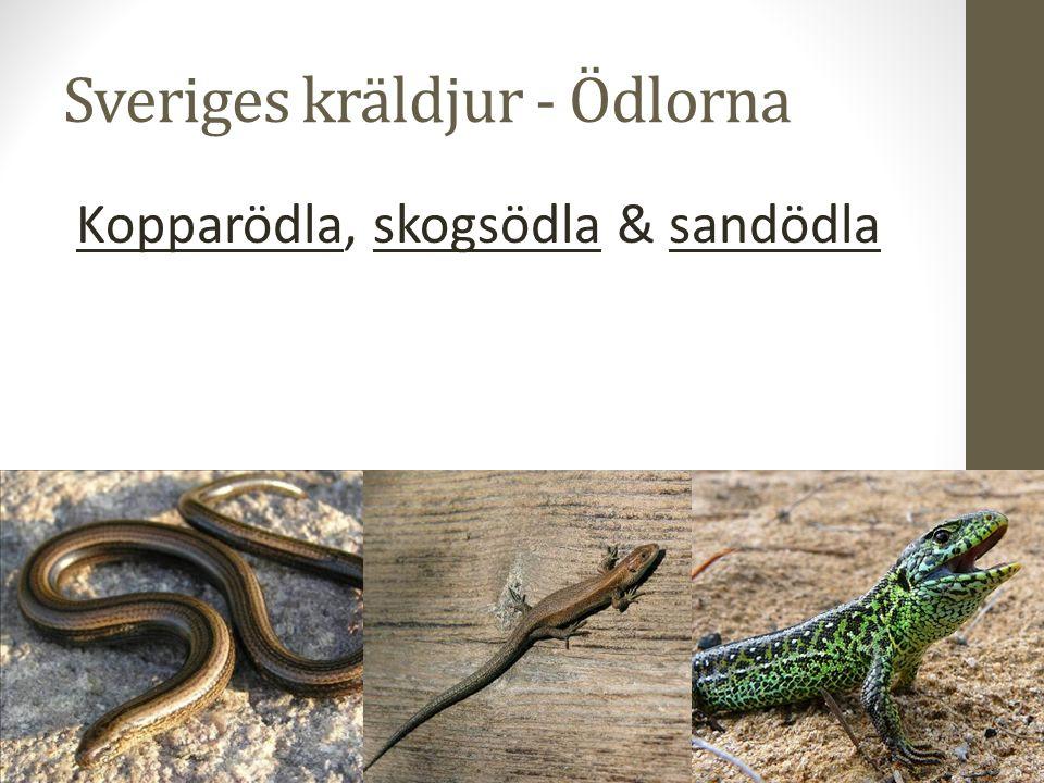 Sveriges kräldjur - Ödlorna Kopparödla, skogsödla & sandödla