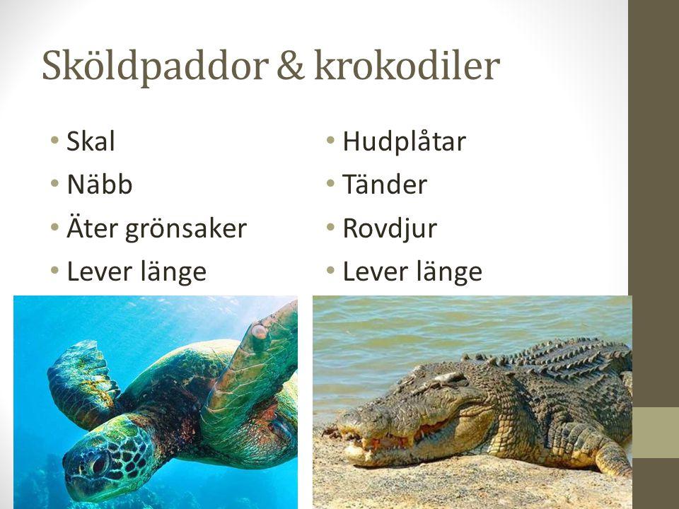 Sköldpaddor & krokodiler Skal Näbb Äter grönsaker Lever länge Hudplåtar Tänder Rovdjur Lever länge