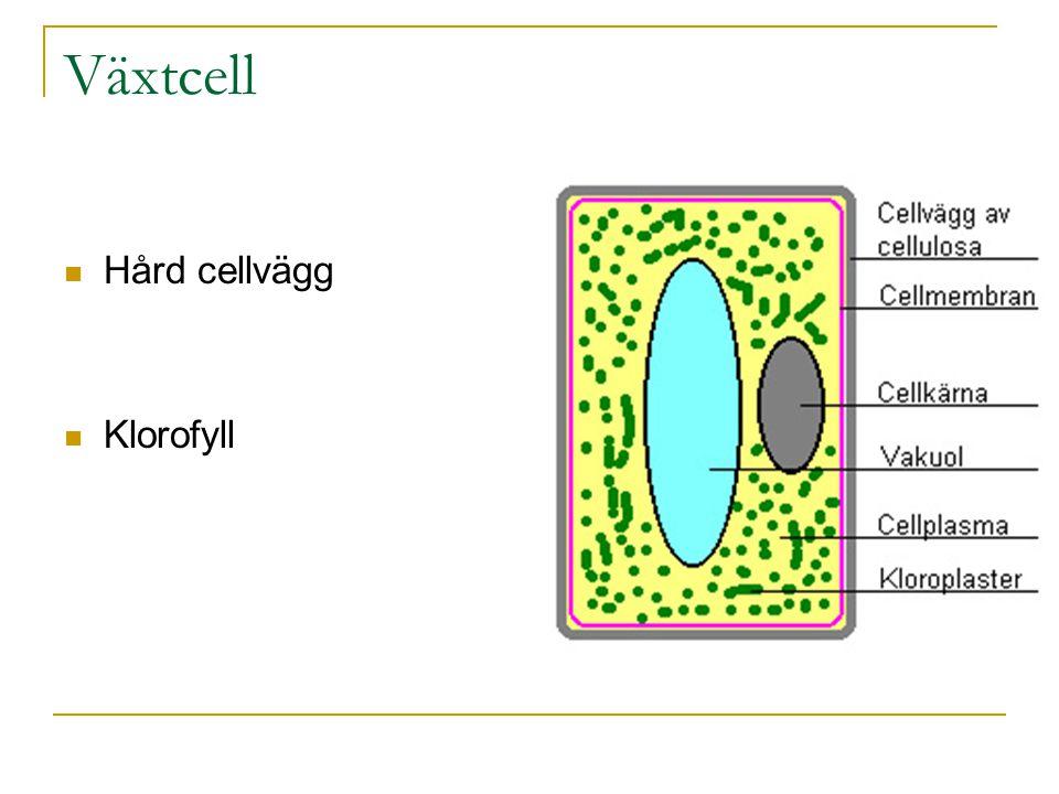 Växtcell Hård cellvägg Klorofyll