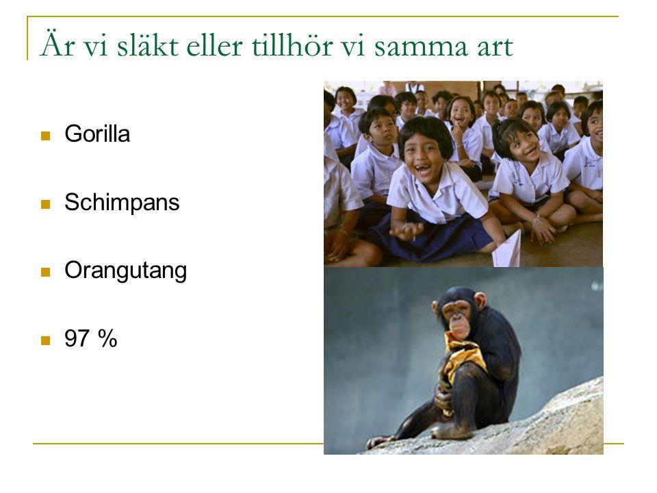 Är vi släkt eller tillhör vi samma art Gorilla Schimpans Orangutang 97 %