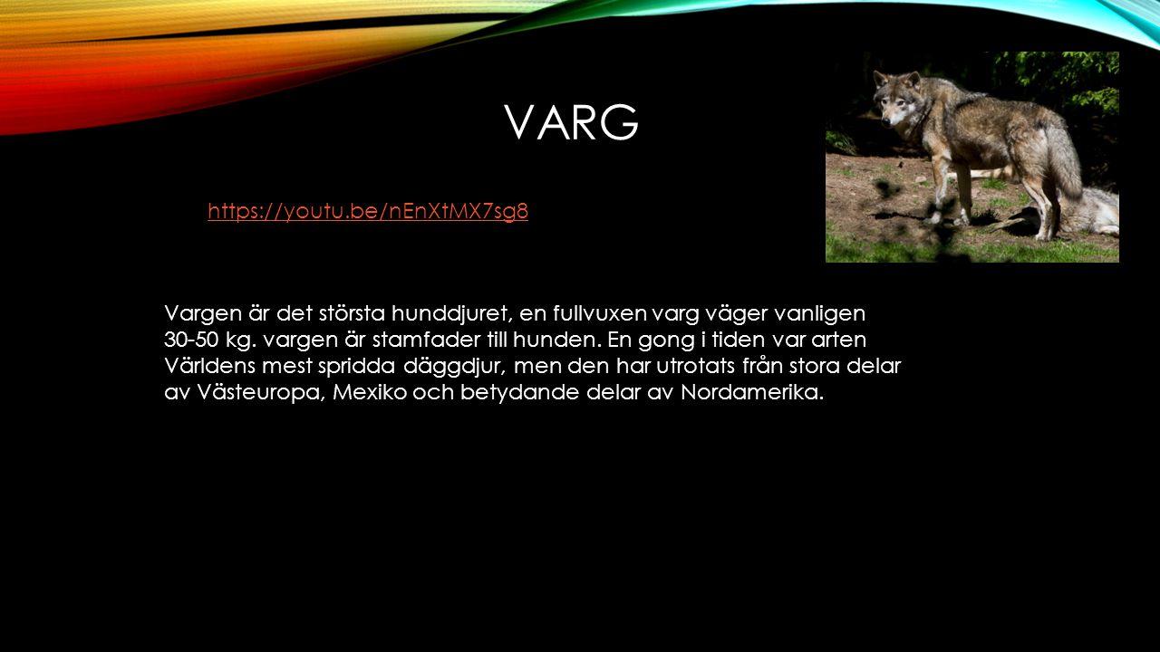 VARG Vargen är det största hunddjuret, en fullvuxen varg väger vanligen 30-50 kg. vargen är stamfader till hunden. En gong i tiden var arten Världens
