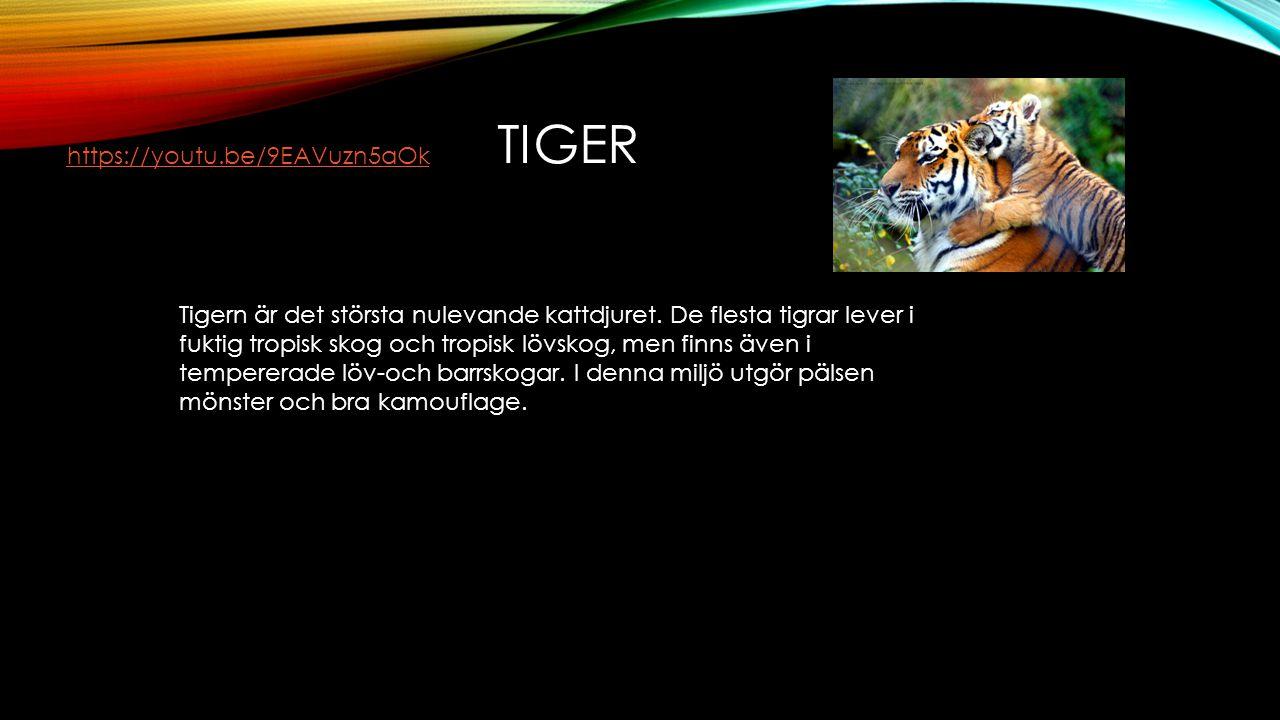 TIGER Tigern är det största nulevande kattdjuret. De flesta tigrar lever i fuktig tropisk skog och tropisk lövskog, men finns även i tempererade löv-o