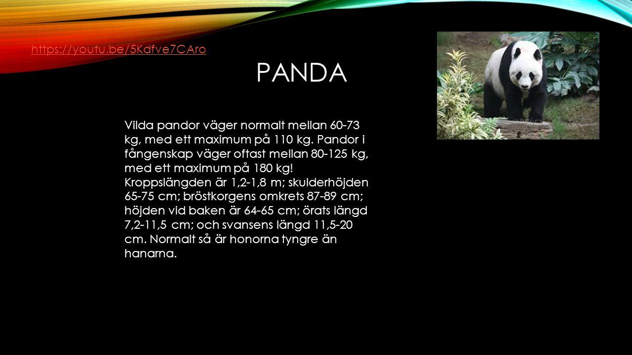 PANDA Vilda pandor väger normalt mellan 60-73 kg, med ett maximum på 110 kg. Pandor i fångenskap väger oftast mellan 80-125 kg, med ett maximum på 180