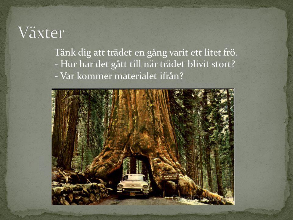 Tänk dig att trädet en gång varit ett litet frö. - Hur har det gått till när trädet blivit stort? - Var kommer materialet ifrån?