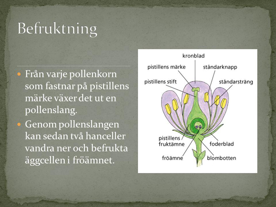 Från varje pollenkorn som fastnar på pistillens märke växer det ut en pollenslang. Genom pollenslangen kan sedan två hanceller vandra ner och befrukta