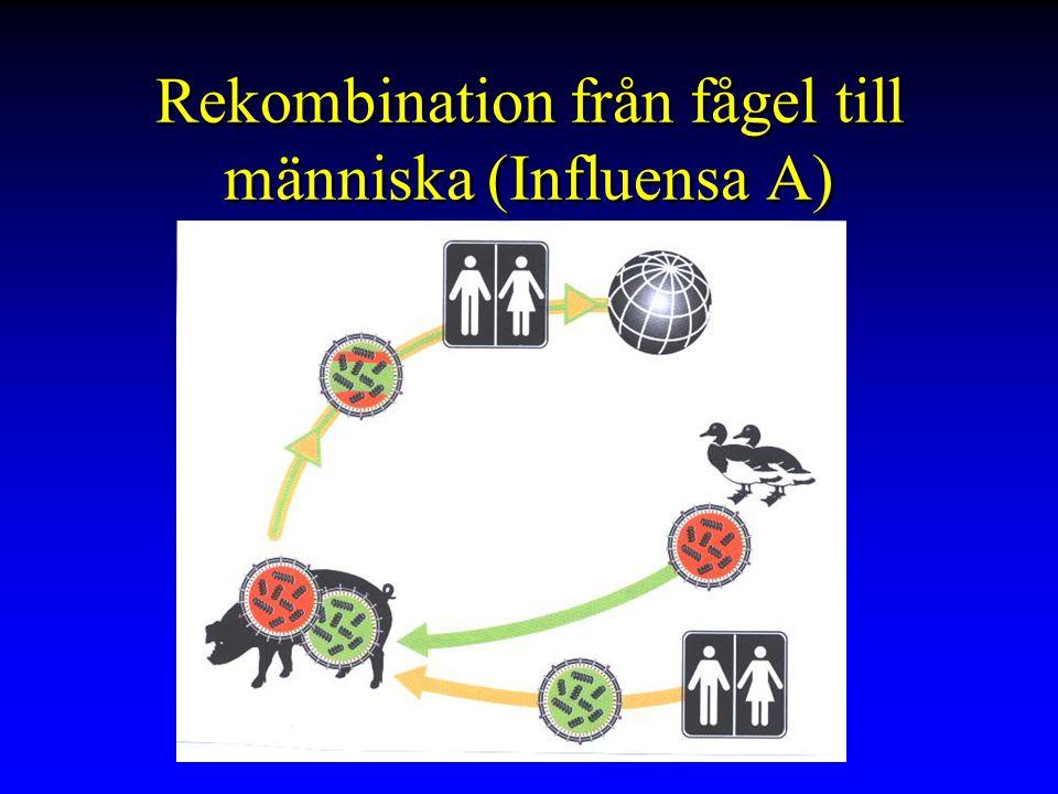 Rekombination från fågel till människa (Influensa A)