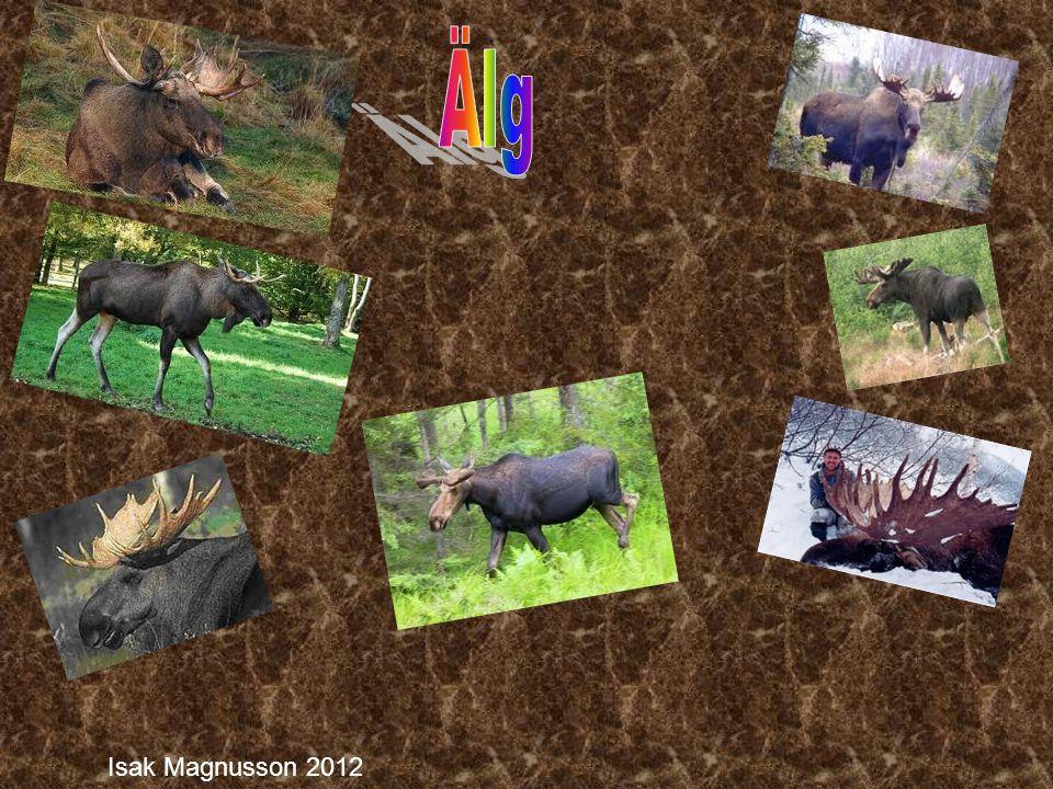 Älg är Europas största däggdjur.Den kan bli 2,8 m hög och 2,5 m lång.