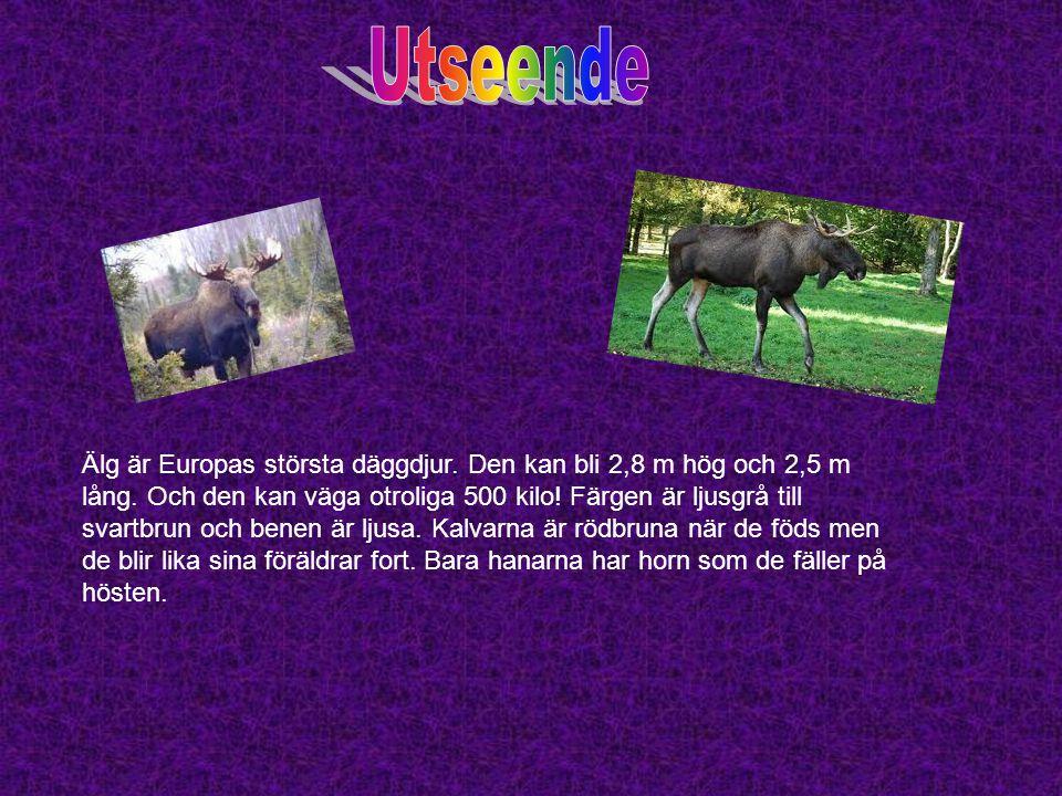 Älg är Europas största däggdjur. Den kan bli 2,8 m hög och 2,5 m lång. Och den kan väga otroliga 500 kilo! Färgen är ljusgrå till svartbrun och benen