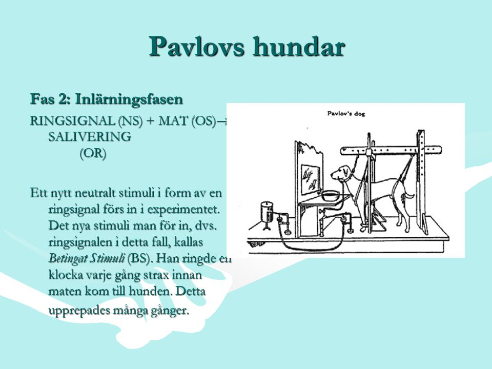 Pavlovs hundar Fas 2: Inlärningsfasen RINGSIGNAL (NS) + MAT (OS)  SALIVERING (OR) Ett nytt neutralt stimuli i form av en ringsignal förs in i experim