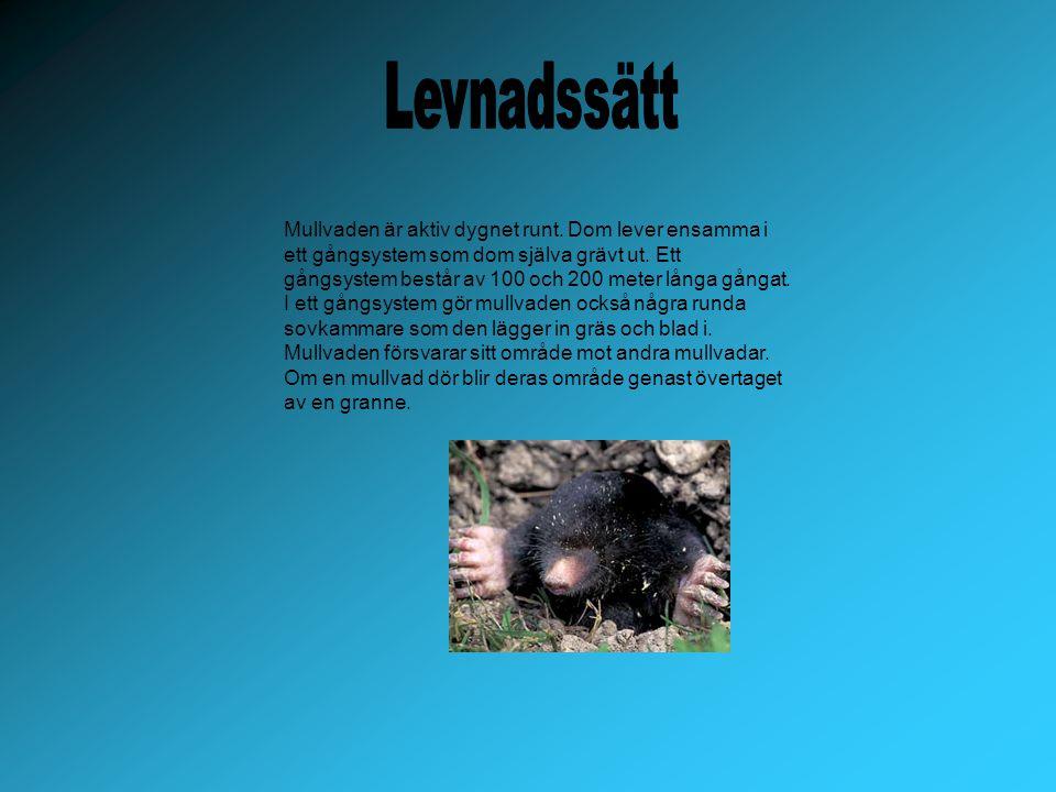 Mullvaden får en kull med ungar om året.Hanen och honan parar sig i april eller maj.