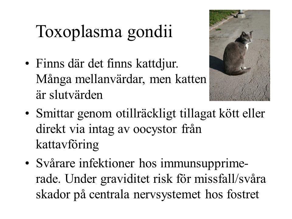 Toxoplasma gondii Finns där det finns kattdjur. Många mellanvärdar, men katten är slutvärden Smittar genom otillräckligt tillagat kött eller direkt vi