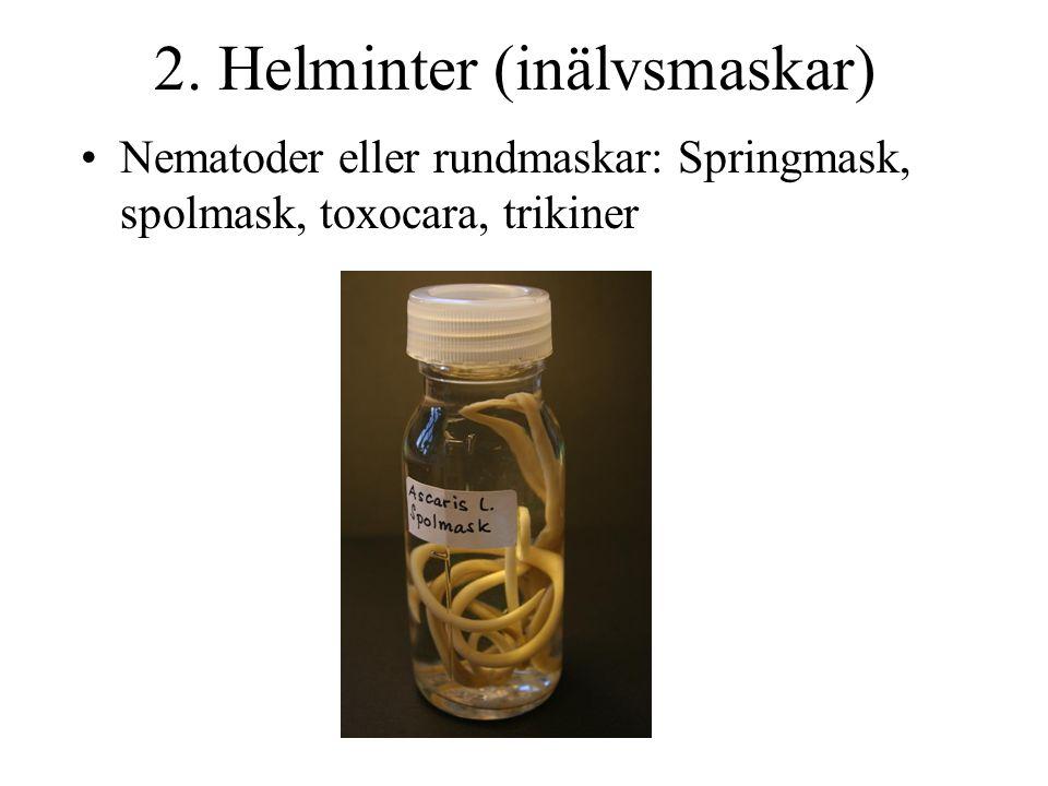 2. Helminter (inälvsmaskar) Nematoder eller rundmaskar: Springmask, spolmask, toxocara, trikiner