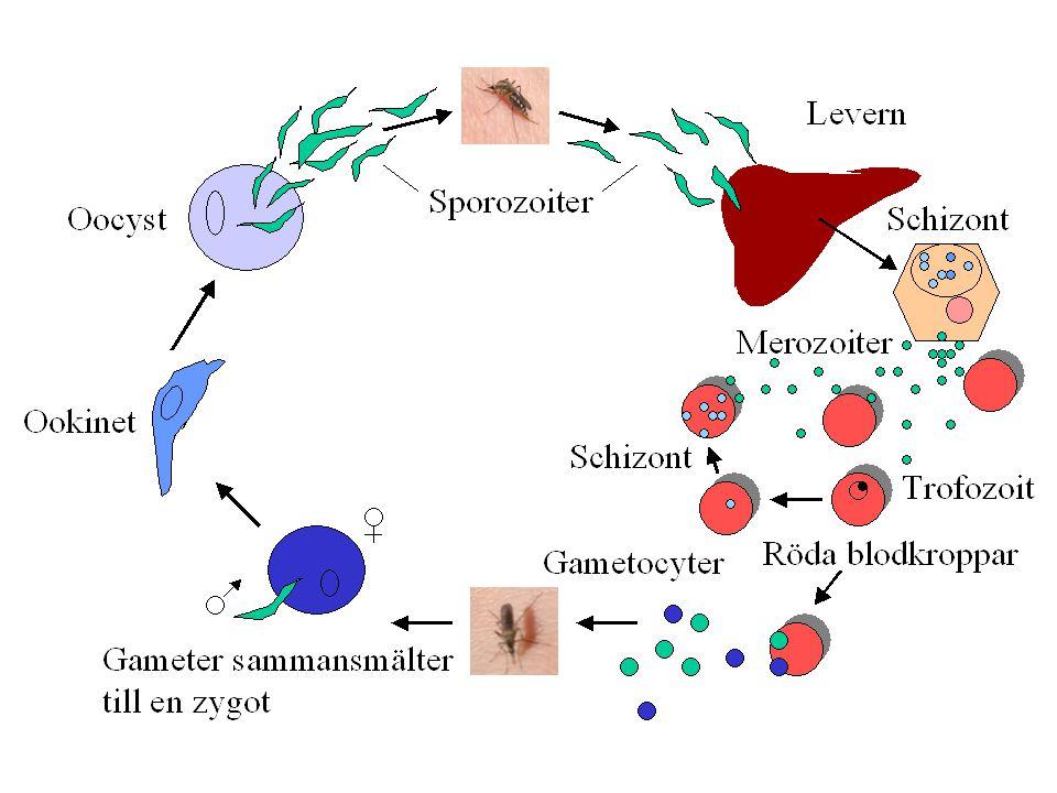 Malaria - klinik Inkubationstid 10-15 dagar (varierar med art och profylax) Typiskt återkommande feberattacker (intervall 36-72 tim., hänger ihop med sprängning av röda blodkroppar): Intensiv frossa någon tim., hög feber 5-6 tim., kraftiga svettningar 2-3 tim.