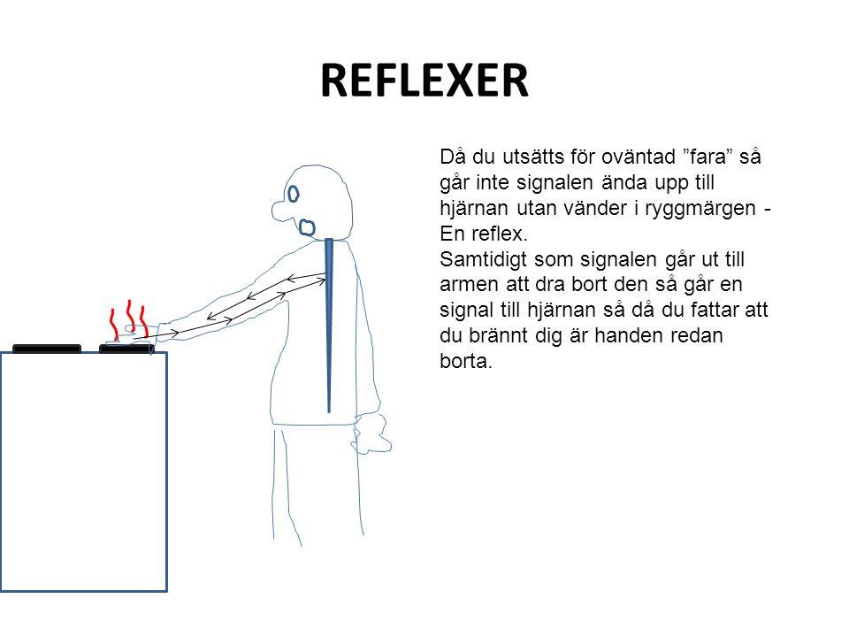 """REFLEXER Då du utsätts för oväntad """"fara"""" så går inte signalen ända upp till hjärnan utan vänder i ryggmärgen - En reflex. Samtidigt som signalen går"""