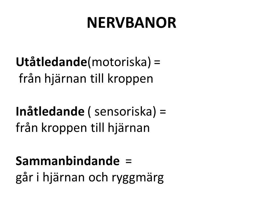 NERVBANOR Utåtledande(motoriska) = från hjärnan till kroppen Inåtledande ( sensoriska) = från kroppen till hjärnan Sammanbindande = går i hjärnan och