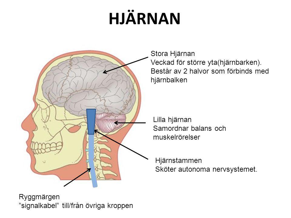 HJÄRNAN Stora Hjärnan Veckad för större yta(hjärnbarken). Består av 2 halvor som förbinds med hjärnbalken Lilla hjärnan Samordnar balans och muskelrör