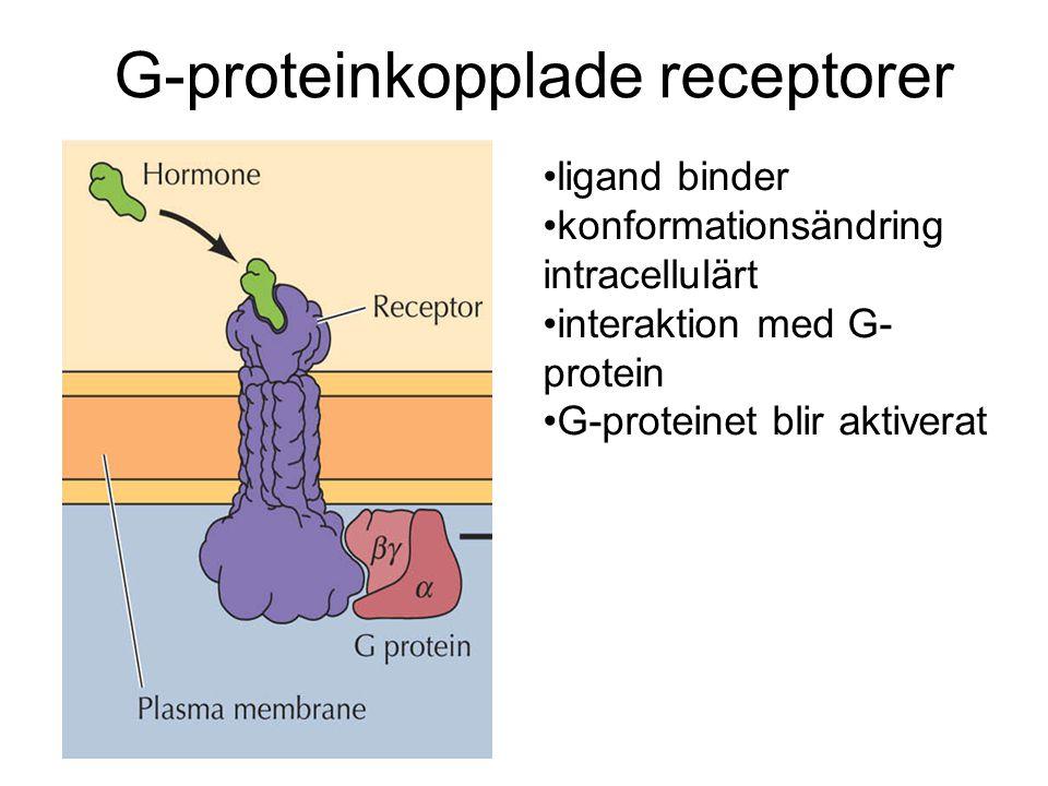 ligand binder konformationsändring intracellulärt interaktion med G- protein G-proteinet blir aktiverat G-proteinkopplade receptorer