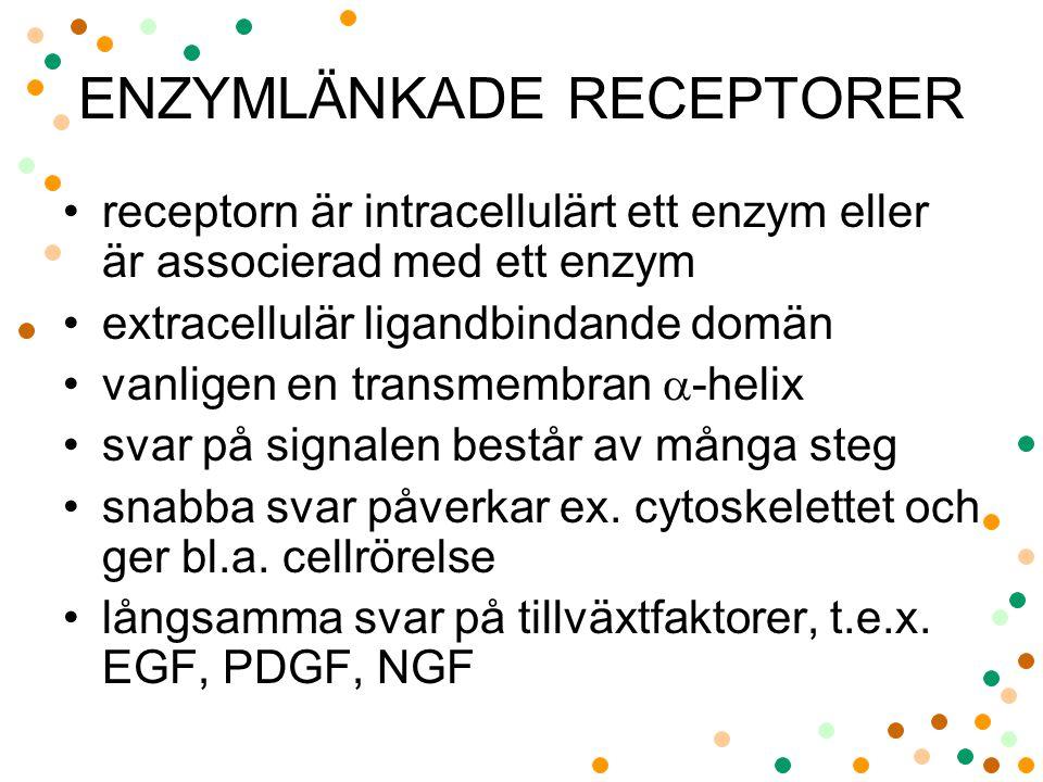 ENZYMLÄNKADE RECEPTORER receptorn är intracellulärt ett enzym eller är associerad med ett enzym extracellulär ligandbindande domän vanligen en transmembran  -helix svar på signalen består av många steg snabba svar påverkar ex.
