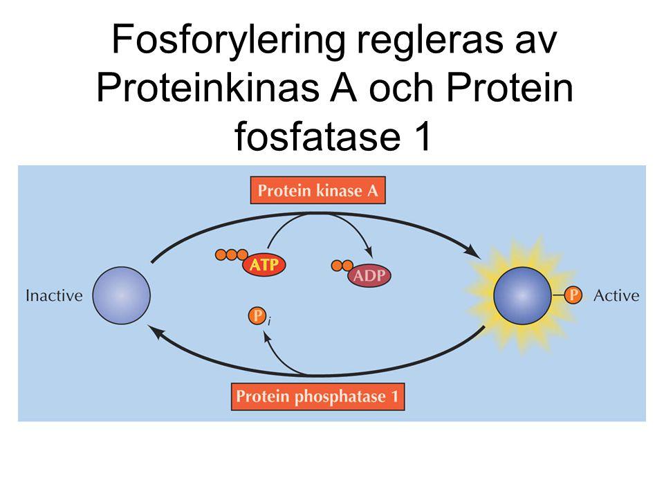 Fosforylering regleras av Proteinkinas A och Protein fosfatase 1