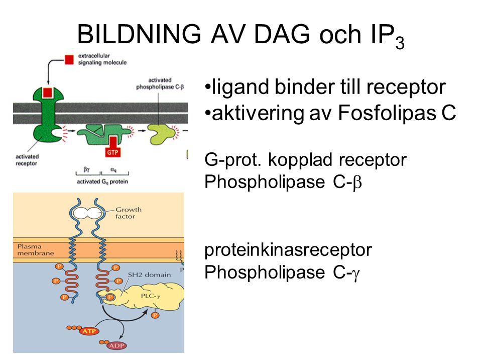 BILDNING AV DAG och IP 3 ligand binder till receptor aktivering av Fosfolipas C G-prot. kopplad receptor Phospholipase C-  proteinkinasreceptor Phosp