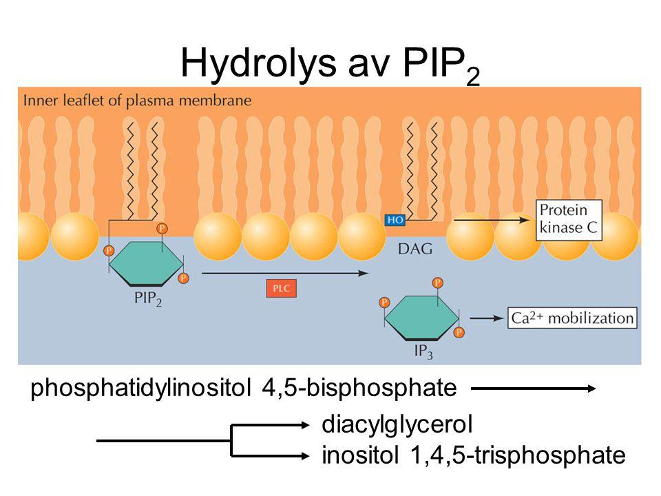 Hydrolys av PIP 2 phosphatidylinositol 4,5-bisphosphate diacylglycerol inositol 1,4,5-trisphosphate
