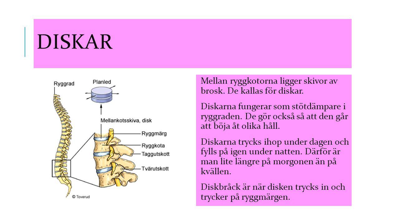 DISKAR Mellan ryggkotorna ligger skivor av brosk. De kallas för diskar. Diskarna fungerar som stötdämpare i ryggraden. De gör också så att den går att
