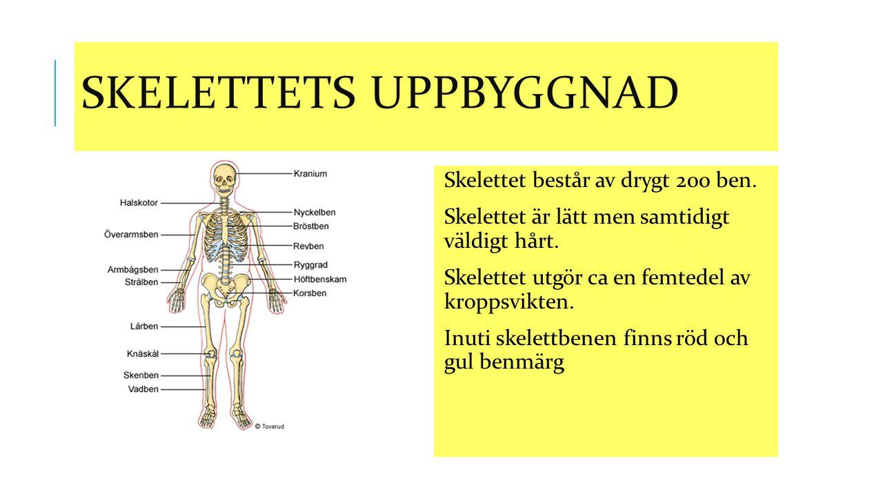 SKELETTETS UPPBYGGNAD Skelettet består av drygt 200 ben. Skelettet är lätt men samtidigt väldigt hårt. Skelettet utgör ca en femtedel av kroppsvikten.