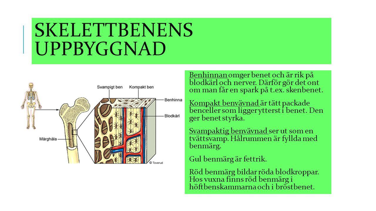 SKELETTBENENS UPPBYGGNAD Benhinnan omger benet och är rik på blodkärl och nerver. Därför gör det ont om man får en spark på t.ex. skenbenet. Kompakt b