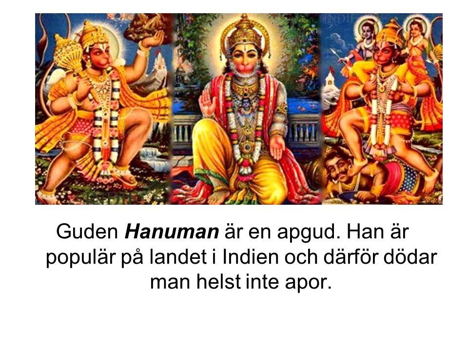 Guden Hanuman är en apgud. Han är populär på landet i Indien och därför dödar man helst inte apor.