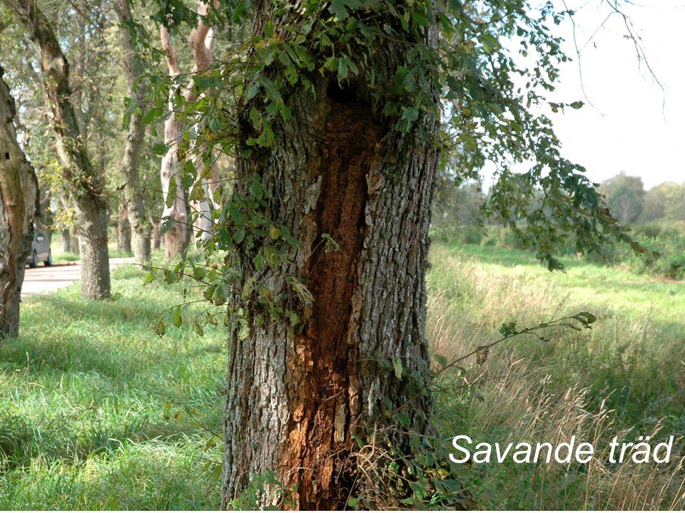 Savande träd