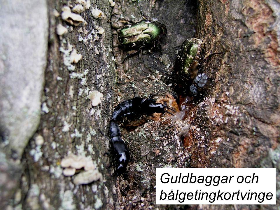 Guldbaggar och bålgetingkortvinge