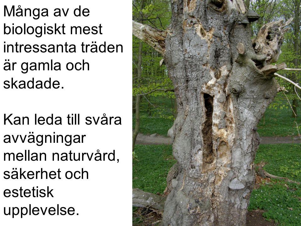 Många av de biologiskt mest intressanta träden är gamla och skadade. Kan leda till svåra avvägningar mellan naturvård, säkerhet och estetisk upplevels