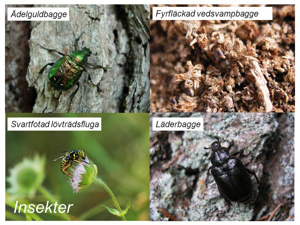 Fyrfläckad vedsvampbagge Ädelguldbagge Svartfotad lövträdsflugaLäderbagge Insekter