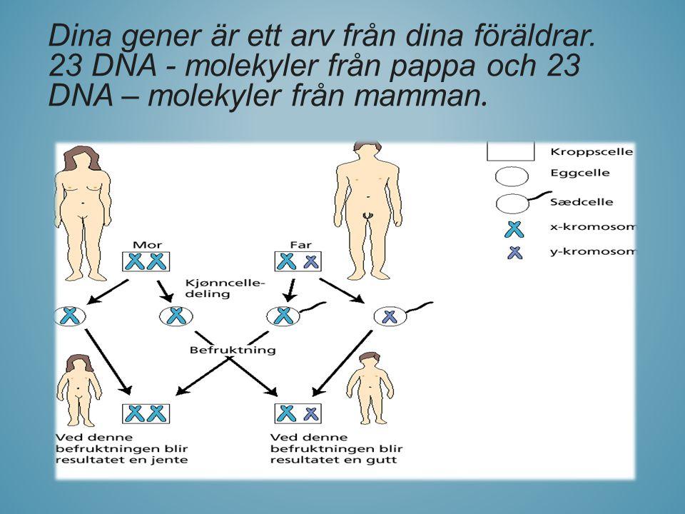 Dina gener är ett arv från dina föräldrar. 23 DNA - molekyler från pappa och 23 DNA – molekyler från mamman.