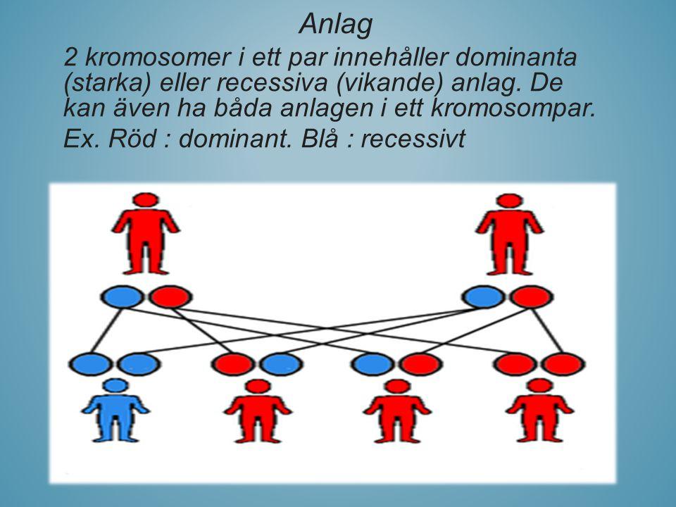 Anlag 2 kromosomer i ett par innehåller dominanta (starka) eller recessiva (vikande) anlag. De kan även ha båda anlagen i ett kromosompar. Ex. Röd : d