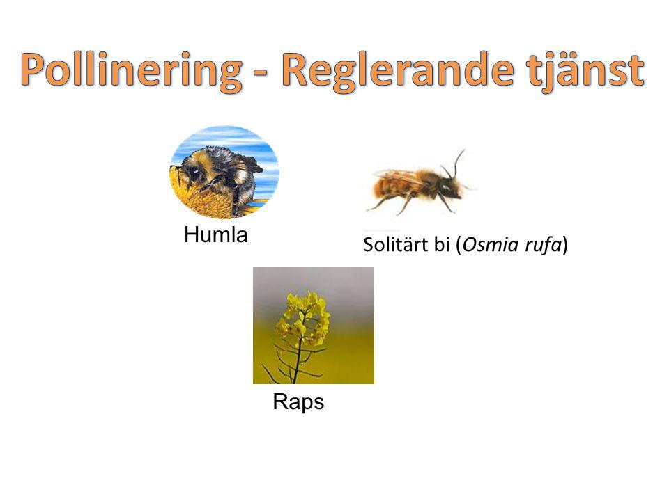 Humla Raps Solitärt bi (Osmia rufa)