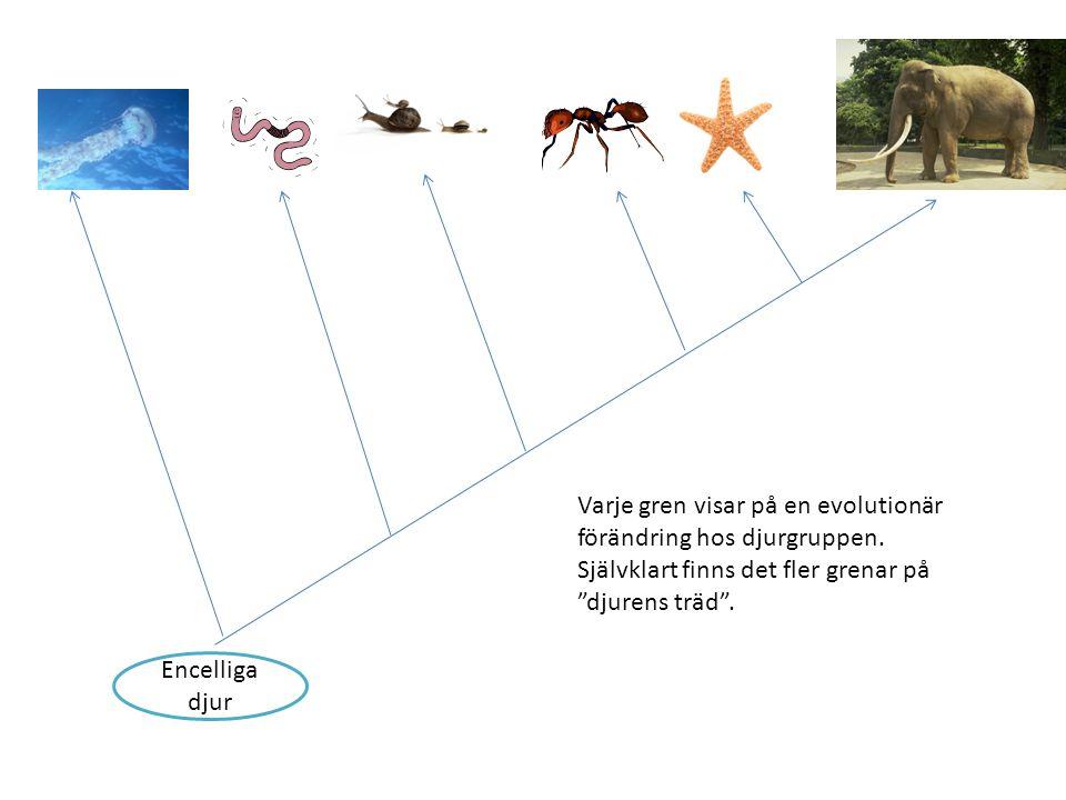 """Encelliga djur Varje gren visar på en evolutionär förändring hos djurgruppen. Självklart finns det fler grenar på """"djurens träd""""."""