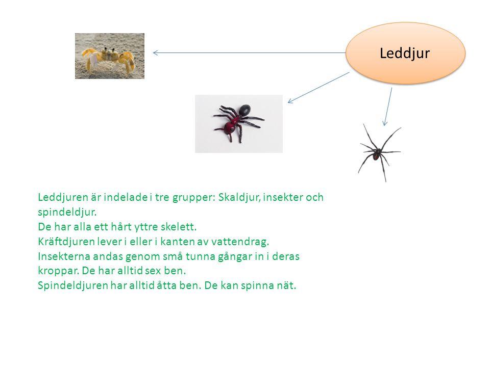Leddjur Leddjuren är indelade i tre grupper: Skaldjur, insekter och spindeldjur. De har alla ett hårt yttre skelett. Kräftdjuren lever i eller i kante