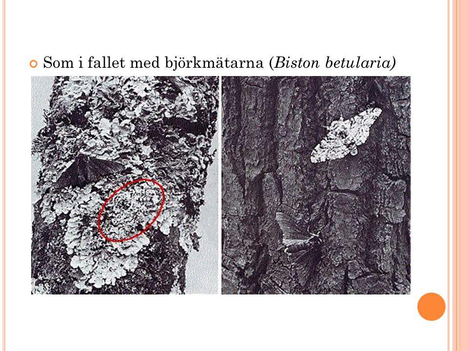 Som i fallet med björkmätarna ( Biston betularia)