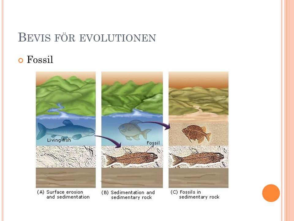 B EVIS FÖR EVOLUTIONEN Fossil