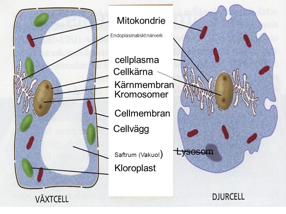 Växtcell Djurcell Mitokondrie cellplasma Cellkärna Kärnmembran Kromosomer Cellmembran Cellvägg Saftrum (Vakuol ) Kloroplast Lysosom Endoplasmatiskt närverk