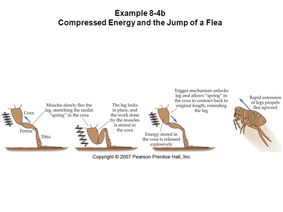 Example 8-4b Compressed Energy and the Jump of a Flea