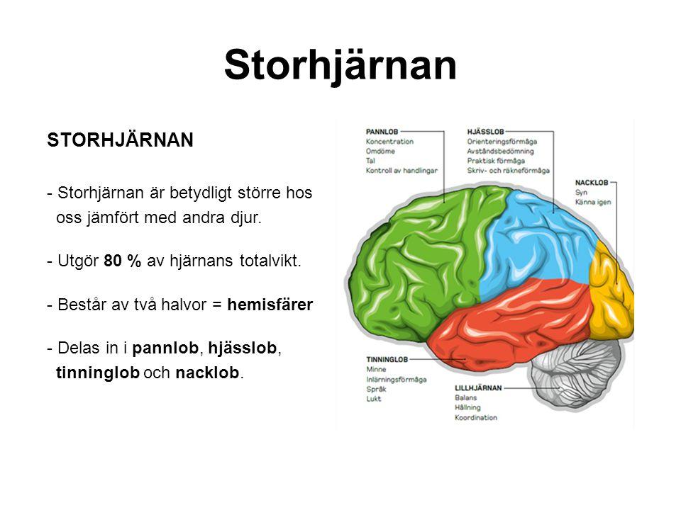 Storhjärnan STORHJÄRNAN - Storhjärnan är betydligt större hos oss jämfört med andra djur. - Utgör 80 % av hjärnans totalvikt. - Består av två halvor =