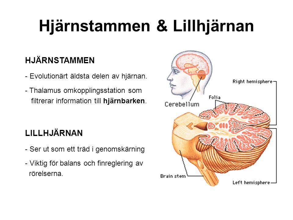 Hjärnstammen & Lillhjärnan HJÄRNSTAMMEN - Evolutionärt äldsta delen av hjärnan. - Thalamus omkopplingsstation som filtrerar information till hjärnbark