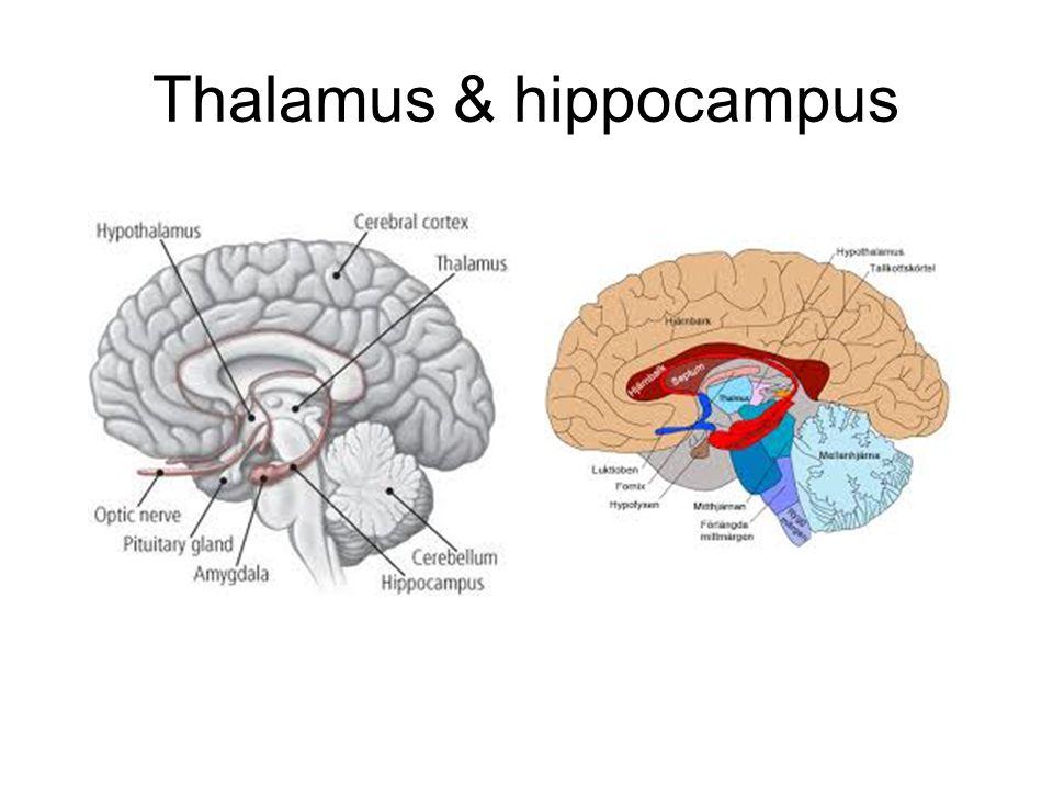 Thalamus & hippocampus