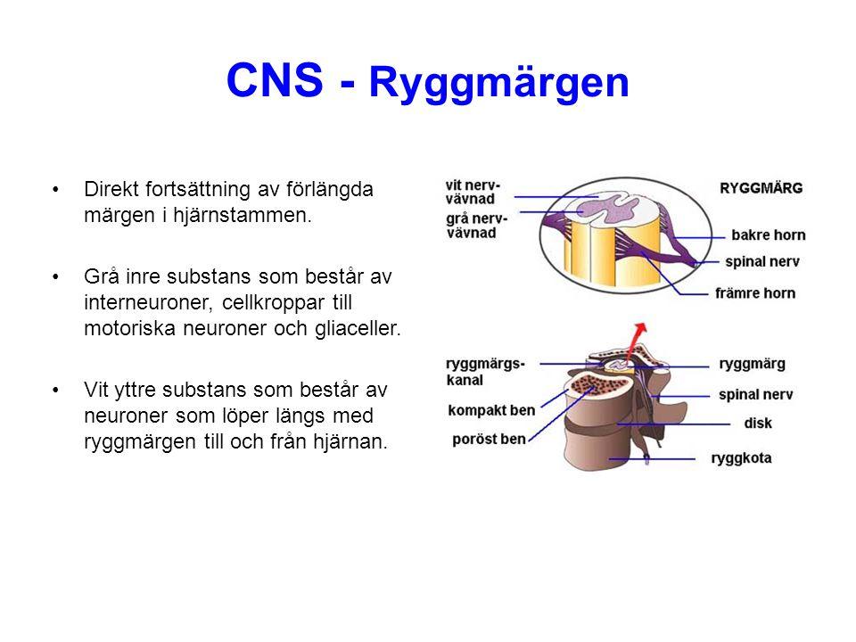 CNS - Ryggmärgen Direkt fortsättning av förlängda märgen i hjärnstammen. Grå inre substans som består av interneuroner, cellkroppar till motoriska neu