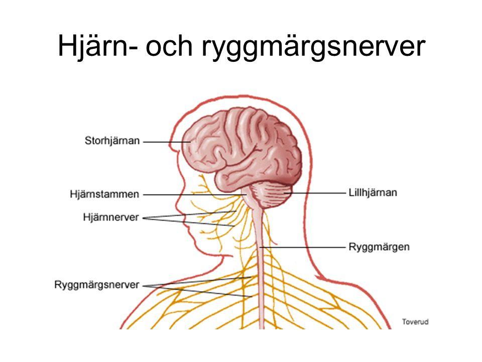 Hjärn- och ryggmärgsnerver
