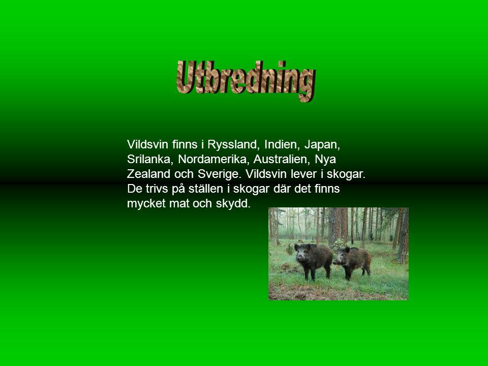 Vildsvin finns i Ryssland, Indien, Japan, Srilanka, Nordamerika, Australien, Nya Zealand och Sverige.