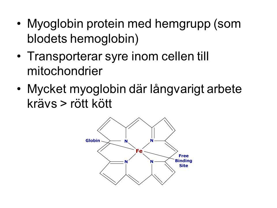 Myoglobin protein med hemgrupp (som blodets hemoglobin) Transporterar syre inom cellen till mitochondrier Mycket myoglobin där långvarigt arbete krävs