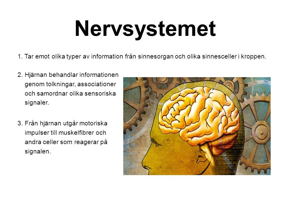 Nervsystemet 1. Tar emot olika typer av information från sinnesorgan och olika sinnesceller i kroppen. 2. Hjärnan behandlar informationen genom tolkni